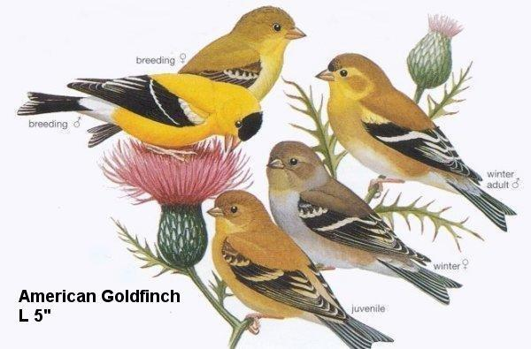 likely-Goldfinch-American