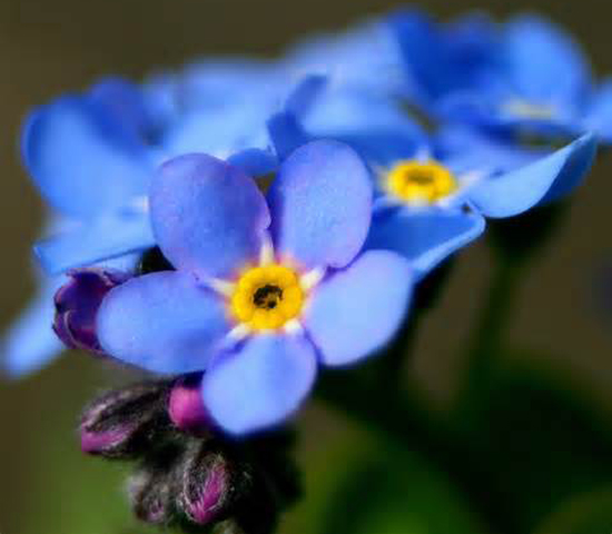 The Forget-me-not flower details we can't usually see.