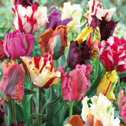 tulip-color-possibilities