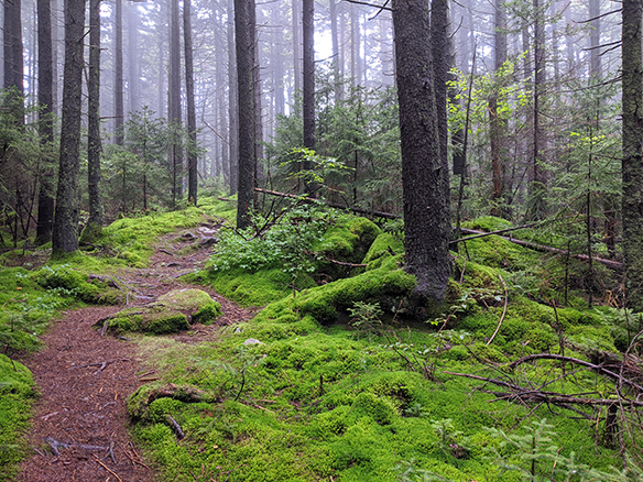 Woods shrouded in fog with thick green moss on the ground.